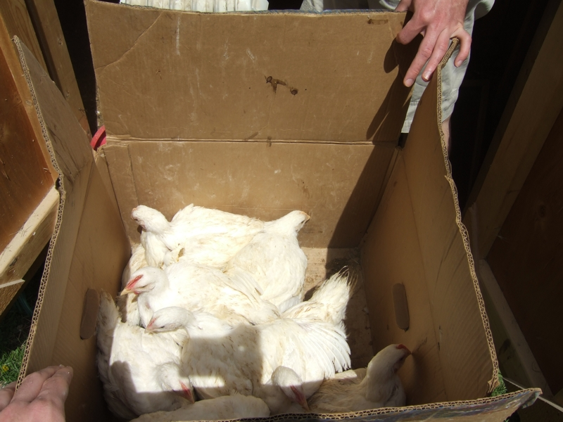 Chickens in the Box