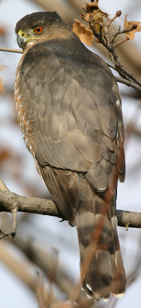 Cooper's Hawk, also known as a Chicken Hawk
